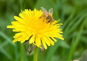 6096-a-bee-on-a-yellow-dandelion-pv
