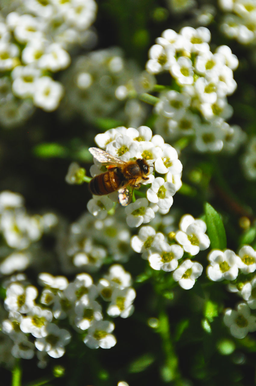 Bee-Pollinating-Flower-in-OregonGarden