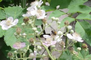 bee_pollinating_blackberry