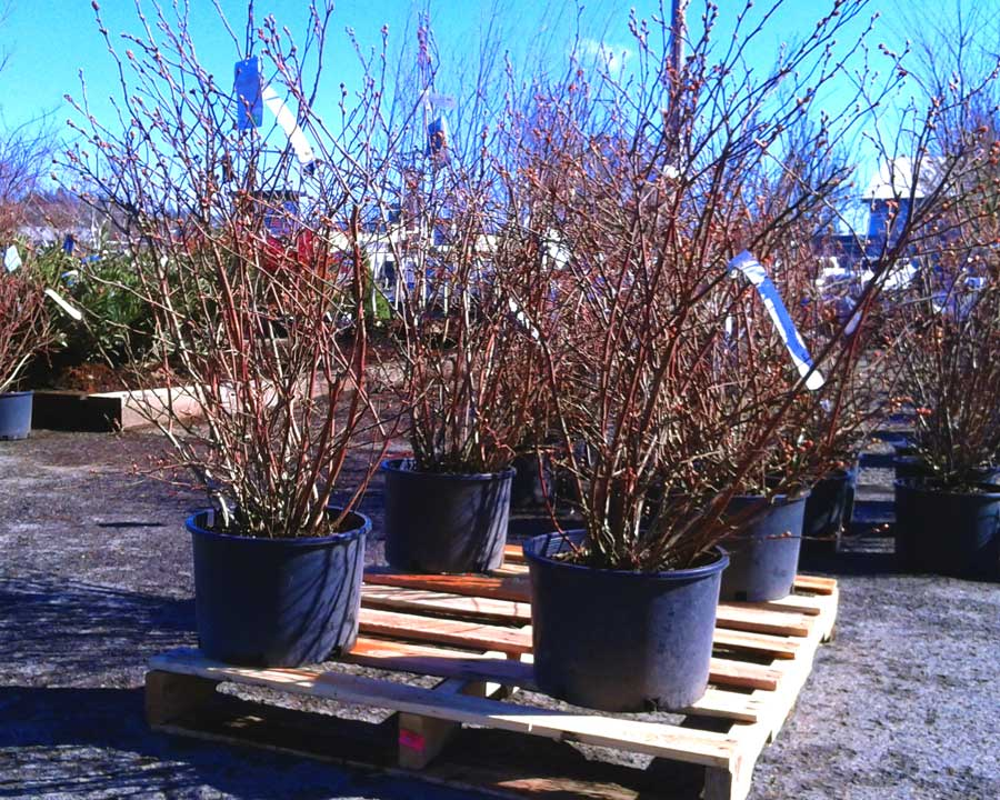 Blueberry-Plants-in-Glenwood-Nursery