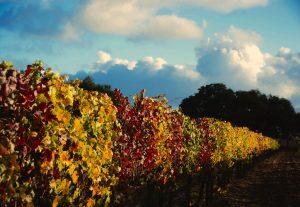 fall-grape-leaves