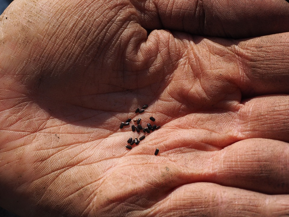 Farmer with Lavender Seeds in Hand in Oregon