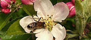 flowering-apple-tree