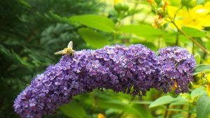 lilac-with-bee