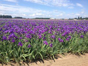 Oregon Iris