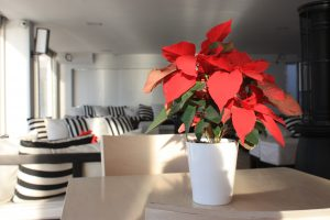 poinsettia_on_table_at_christmas_time