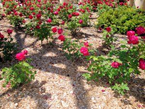 rose-mulch