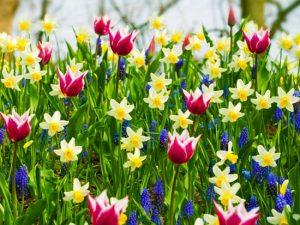 Spring-Bulbs-Blossom