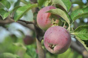 apple-1259558_1280