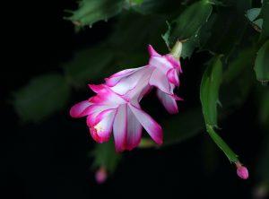 christmas-cactus-71455_1280