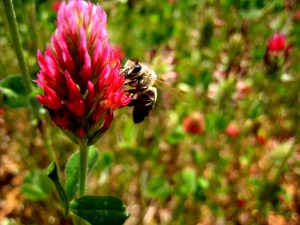 crimson-clover-bee