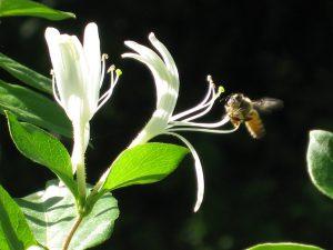 honeysuckle-bee