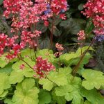 Heuchera Little Cutie Sweet Tart