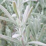 Lavender Anouk Silver