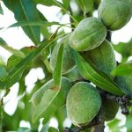 Halls Hardy Almond Tree