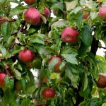 3-Way Combo Apple Tree
