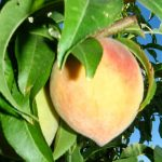 Elberta Peach Tree