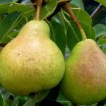 Bartlett Pear Tree