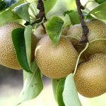Hosui Pear Tree