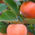 Giant Fuyu Persimmon