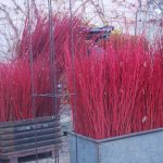 Cornus Red Twig Dogwood