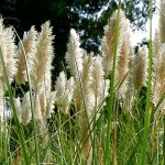 Cortaderia Selloana- Pampas Grass
