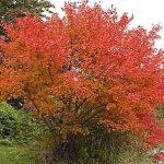 Autumn Flame Maple Tree