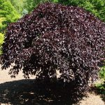 Fagus Purple Fountain Weeping Beech Tree