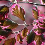 Fagus Tricolor Beech Tree