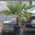 Windmill Fan Palm 15 gallon