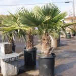 Windmill Fan Palm 2-3 Foot