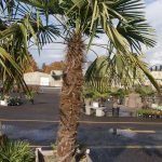 Windmill Fan Palm 5 Foot