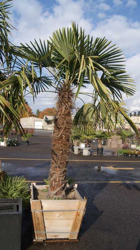 Purchase Palm Trees In Oregon Lane Forest Products