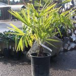 Windmill Fan Palm 5 gallon