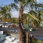 Windmill Fan Palm 6 Foot