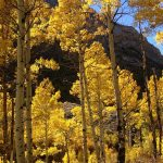 Quaking Aspen Tree