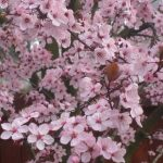 Thundercloud Flowering Plum Tree