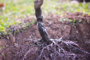 plant-bare-root-tree