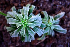winter-frost-on-plants