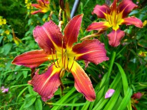 yellow-red-daylily-634583_1280